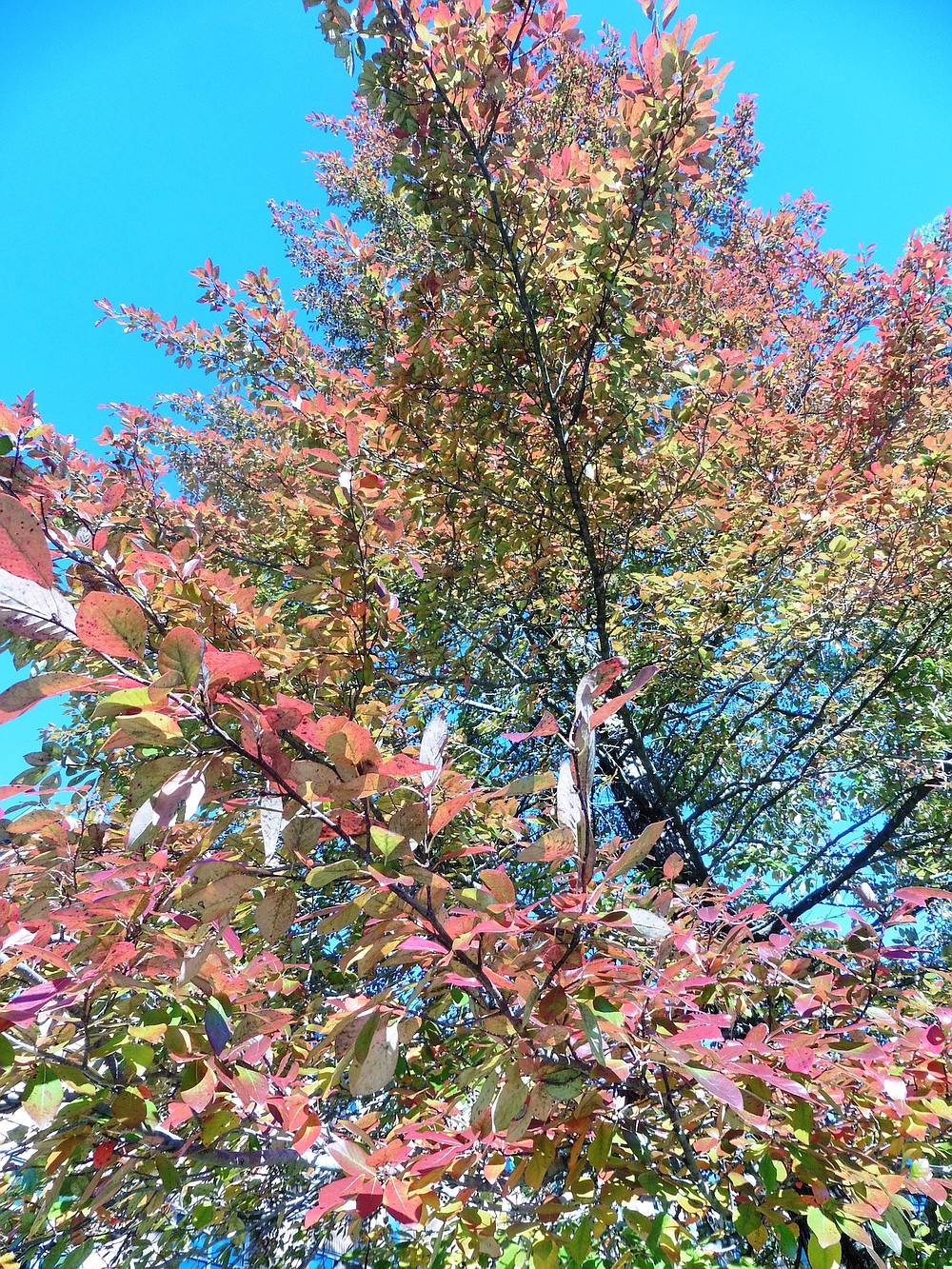 The Blackgum grows up from 30-60 feet tall with a spread of 20-30 feet that makes it work for smaller landscapes that benefit from height without excessive width. (Special to the Democrat-Gazette/Janet B. Carson)