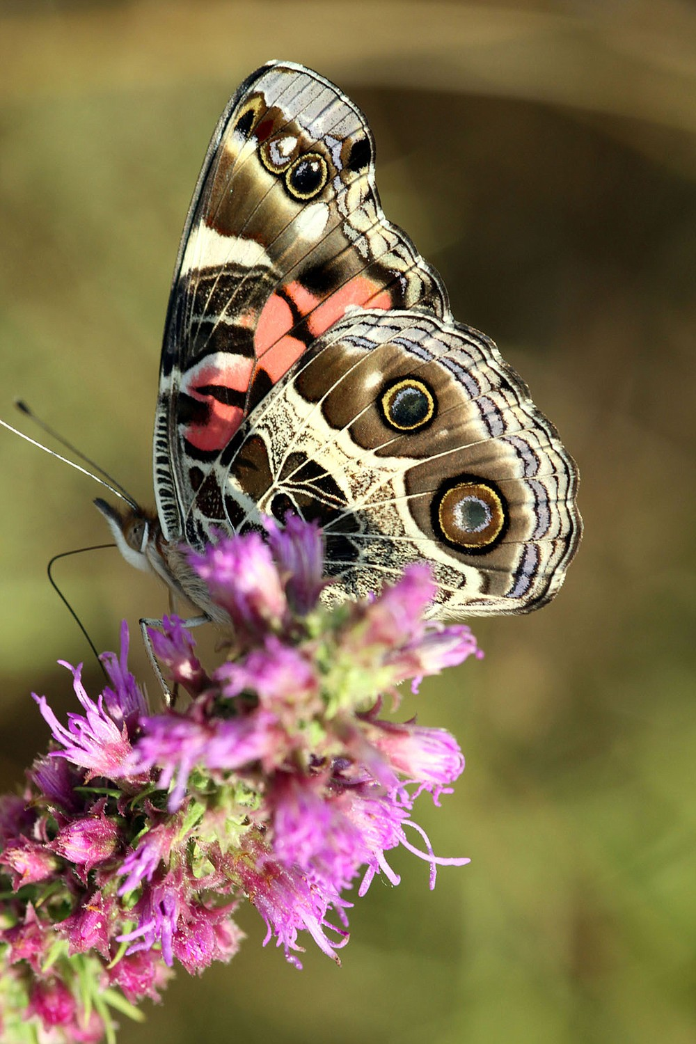 An array of native wildlife flourishes atop Mount Magazine, including butterflies. - Photo by Corbet Deary of The Sentinel-Record