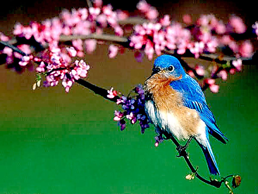 Bill Johnson was the first place winner in the fortieth anniversary Bluebird Society Photograpy Contest