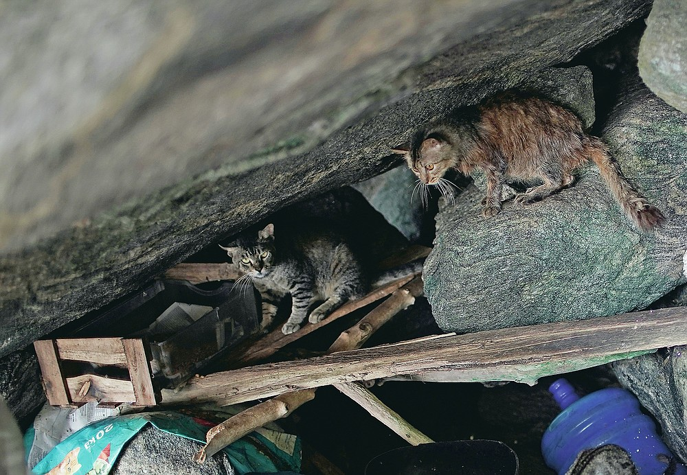 On Brazil's tropical island of cats, virus led to starvation