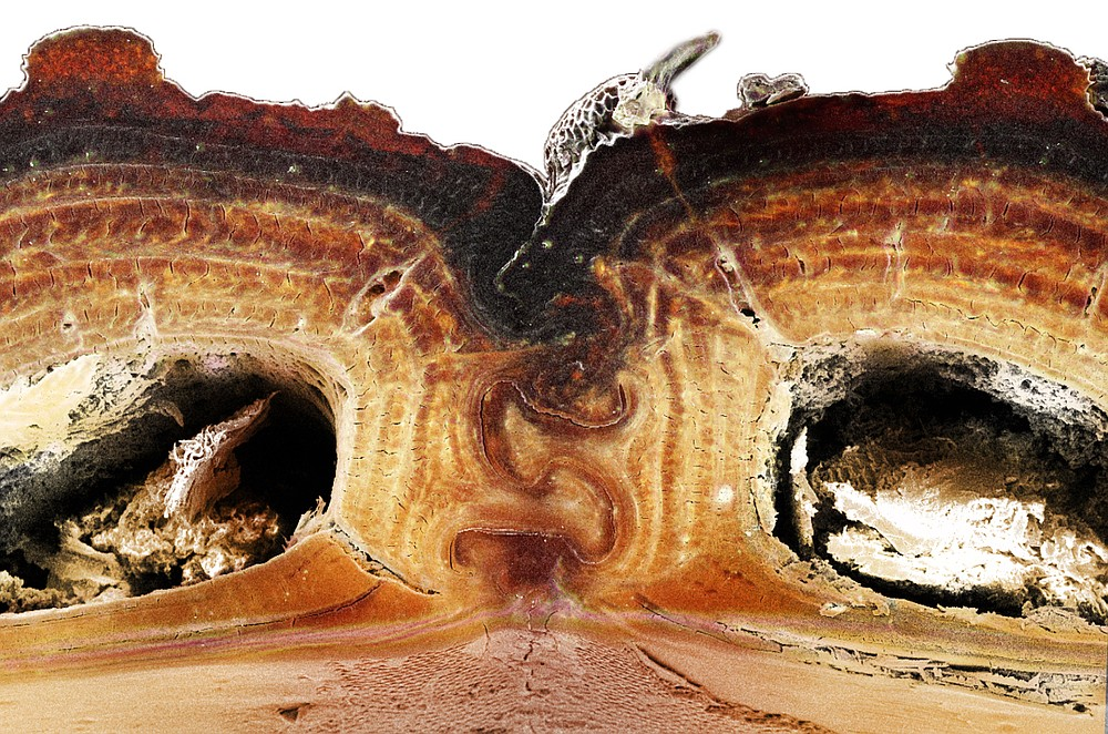 In this 2016 photo provided by the University of California, Irvine, a cross section of the medial suture, where two halves of the diabolical ironclad beetle's elytra meet, shows the puzzle piece configuration that's among the keys to the insect's incredible durability. Scientists say the armor of the seemingly indestructible beetle could offer clues for designing stronger planes and buildings. In a study published Wednesday, Oct. 21, 2020, in the journal Nature, a group of scientists explains why the beetle is so squash-resistant.  (Jesus Rivera, Kisailus Biomimetics and Nanostructured Materials Lab, University of California Irvine via AP)