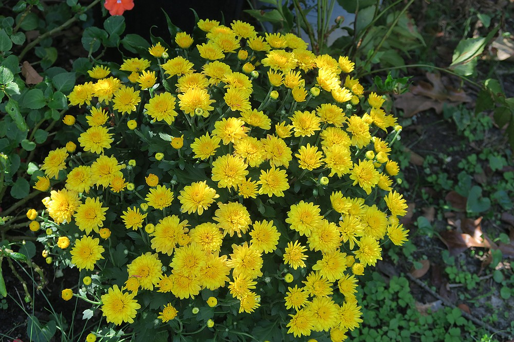 Chrysanthemums are perennials in Arkansas, but they require tending year-round to repeat the first show. (Special to the  Democrat-Gazette/Janet B. Carson)