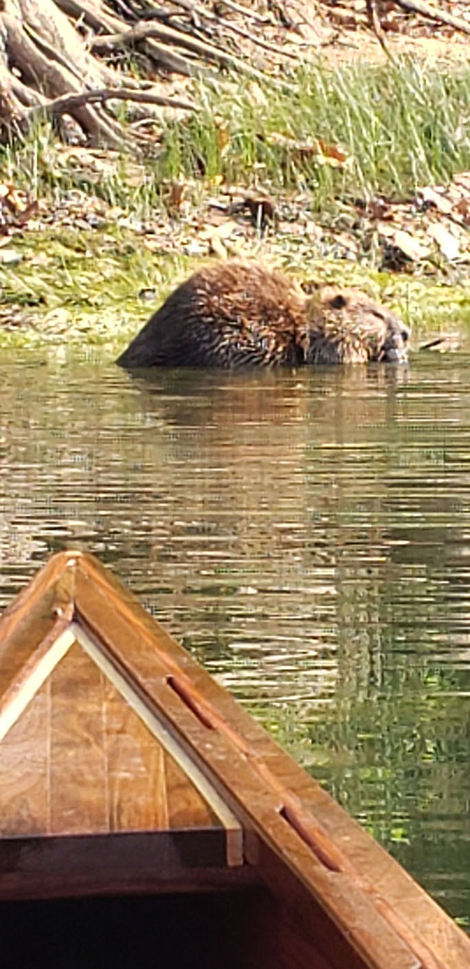 Gliding quietly in his canoe, Eliasen sneaks up on a beaver on the White River downstream from Beaver Dam. (Courtesy photo/Tony Eliasen)