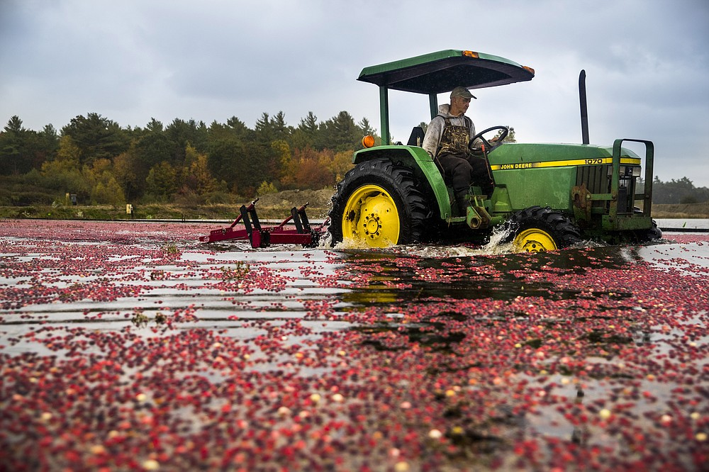Billy McCaffrey drives his tractor equipped with a device to loosen the cranberries so they can be harvested in the bog at Spring River Farm in East Taunton, Mass., on Oct. 16, 2020. MUST CREDIT: Photo for The Washington Post by Adam Glanzman