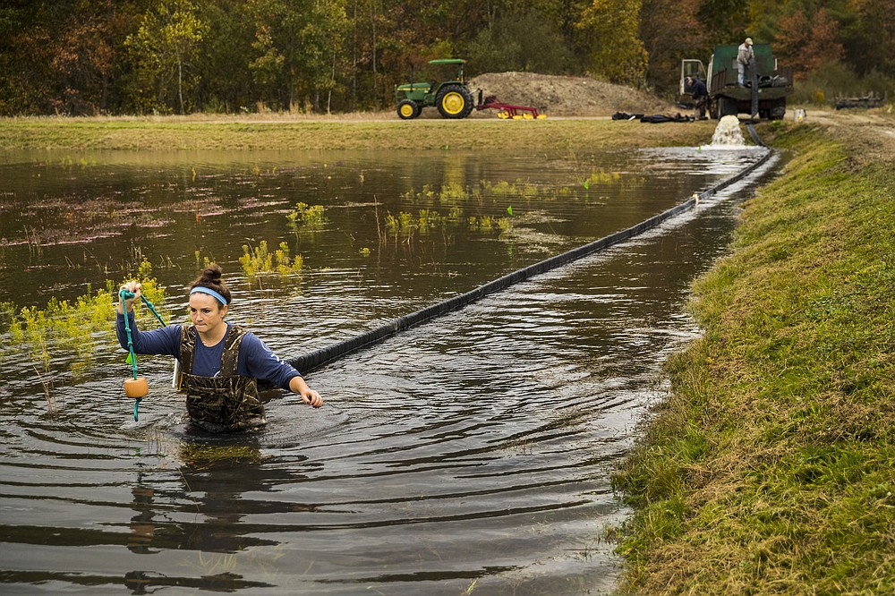 Sarah McCaffrey pulls a long hose used to corral the loose cranberries in the bog at Spring River Farm in East Taunton, Mass., on Oct. 16, 2020. MUST CREDIT: Photo for The Washington Post by Adam Glanzman
