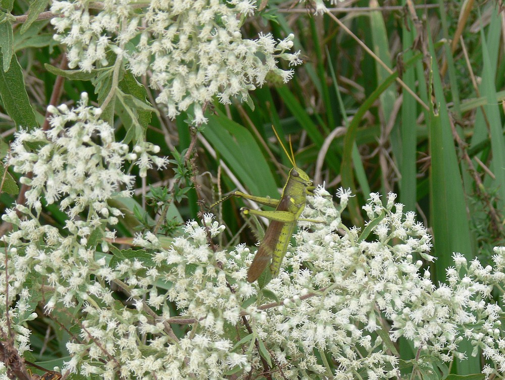 Small grasshoppers were abundant in the weeds where a rare fork-tailed flycatcher was seen feeding in November and early December 2020. (Special to the Democrat-Gazette/Jerry Butler)
