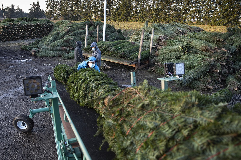 Workers load Christmas trees onto trucks at McKenzie Farms on Saturday, Nov.  20, 2020 in Oregon City, Ore.  Wholesale growers and small farms alike say customers are showing up earlier than normal and there are more of them. More Americans are staying home for the holidays amid coronavirus restrictions and want a new — or renewed — tradition to end a dreary year on a happier note.   (AP Photo/Paula Bronstein)