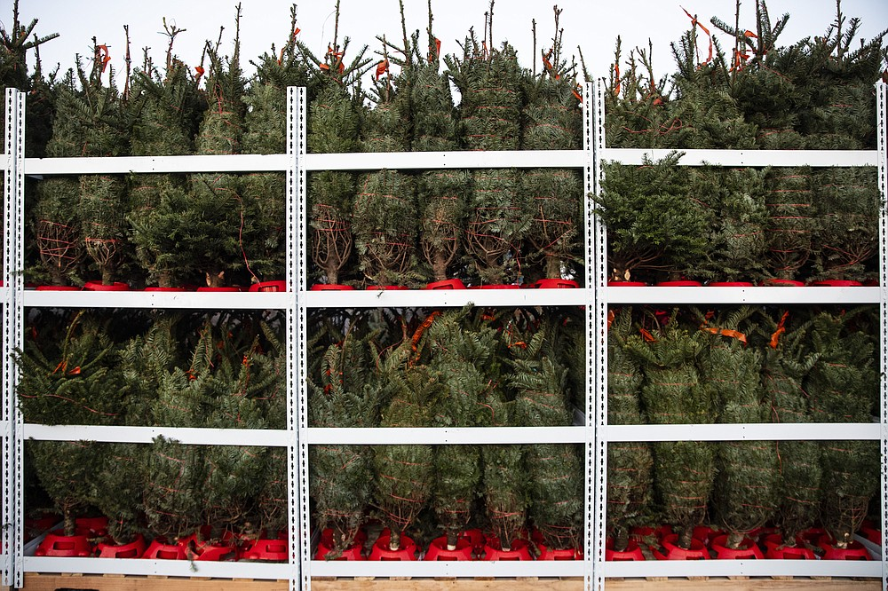 Small Christmas trees ready for shipment to Cosco's are seen at McKenzie Farms on Saturday, Nov. 20, 2020 in Oregon City, Ore.  Wholesale growers and small farms alike say customers are showing up earlier than normal and there are more of them. More Americans are staying home for the holidays amid coronavirus restrictions and want a new — or renewed — tradition to end a dreary year on a happier note.   (AP Photo/Paula Bronstein)