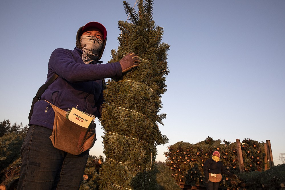 A worker holds a bundled Christmas tree ready for shipment at McKenzie Farms on Saturday, Nov.  20, 2020 in Oregon City, Ore.  Wholesale growers and small farms alike say customers are showing up earlier than normal and there are more of them. More Americans are staying home for the holidays amid coronavirus restrictions and want a new — or renewed — tradition to end a dreary year on a happier note.   (AP Photo/Paula Bronstein)