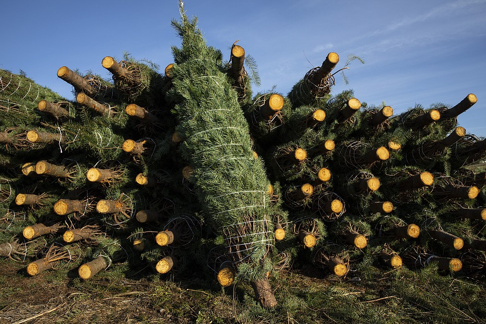 Freshly cut Christmas trees are bundled for shipment at McKenzie Farms on Saturday, Nov.  20, 2020 in Oregon City, Ore.   Wholesale growers and small farms alike say customers are showing up earlier than normal and there are more of them. More Americans are staying home for the holidays amid coronavirus restrictions and want a new — or renewed — tradition to end a dreary year on a happier note.   (AP Photo/Paula Bronstein)