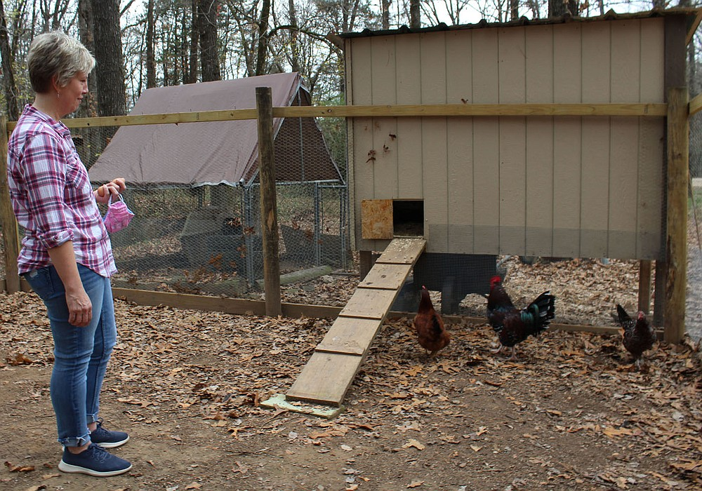 Anne Canada, a librarian at Paris Middle School, observes chickens Nov. 21 in a coop at her Subiaco home. The coop was built to house chickens and roosters hatched in support of a virtual 4-H program offered for students when schools shutdown for onsite instruction in the spring.  (NWA Democrat-Gazette/Mary Jordan)