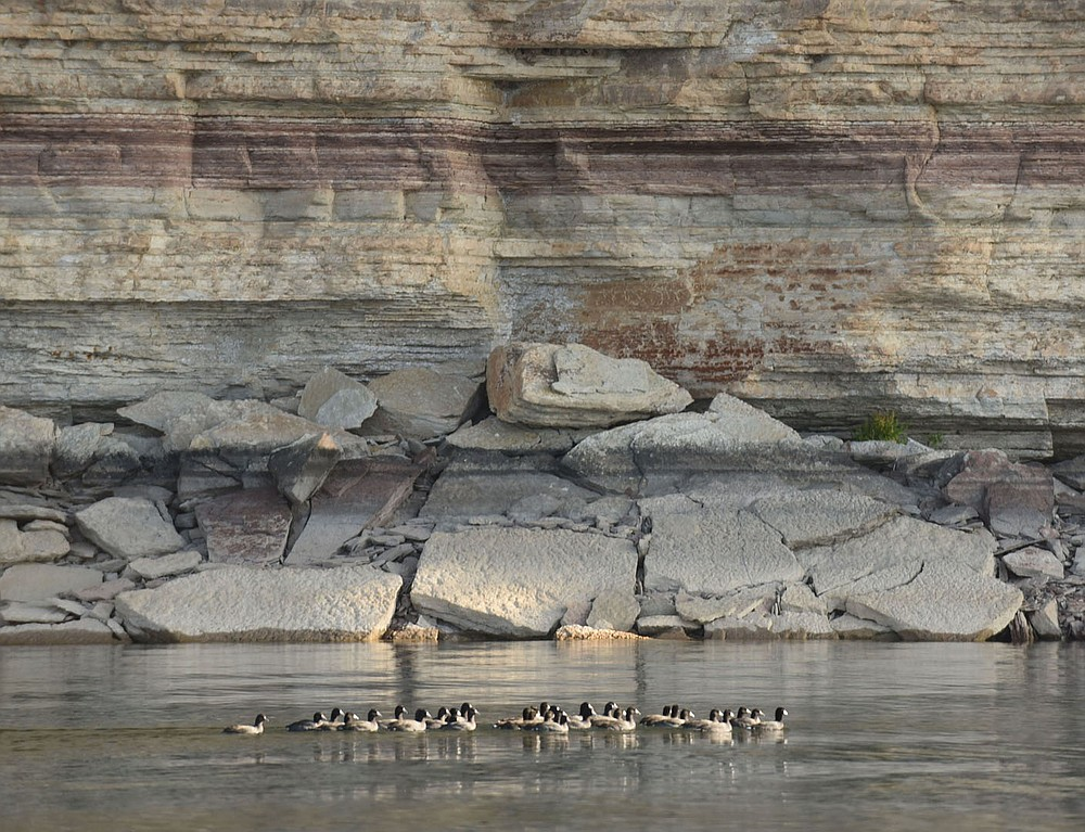 Coots swim along a bluff north of Rocky Branch park.  (NWA Democrat-Gazette/Flip Putthoff)
