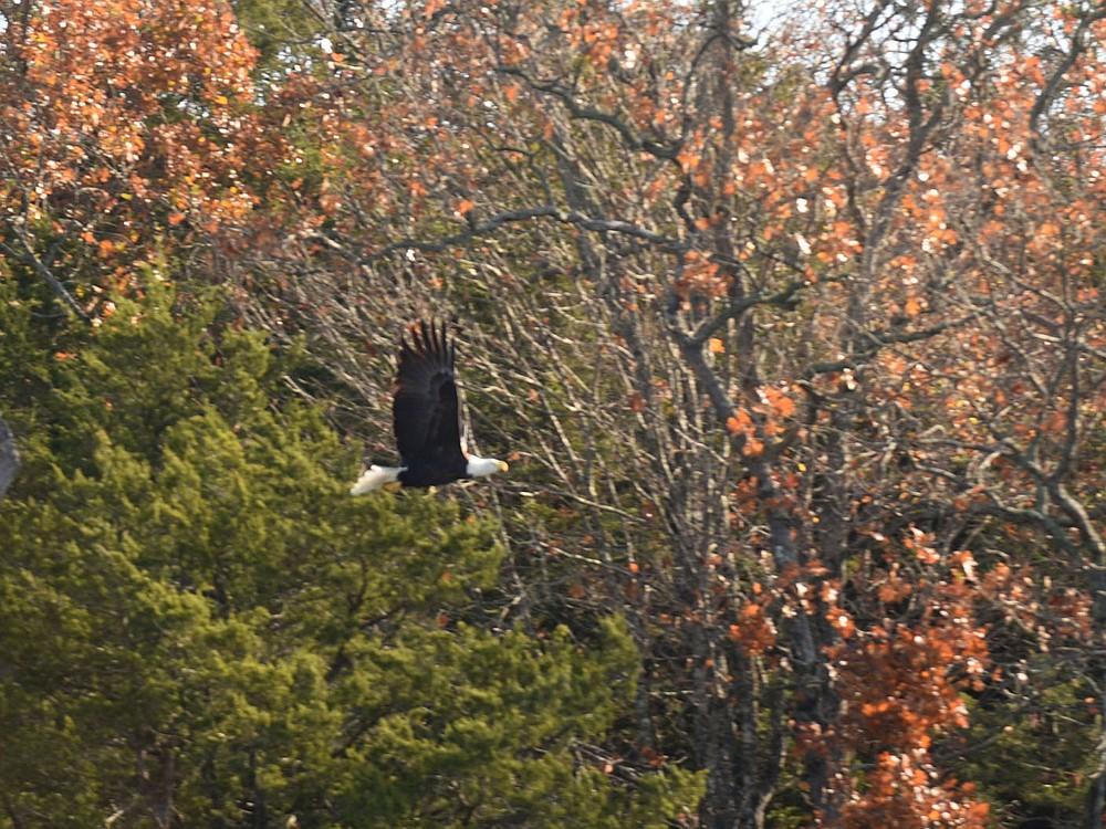 A bald eagle flies Nov. 6 2020 along the lake shore. Neal spotted two adult and one juvenile bald eagle near Rocky Branch park. (NWA Democrat-Gazette/Flip Putthoff)