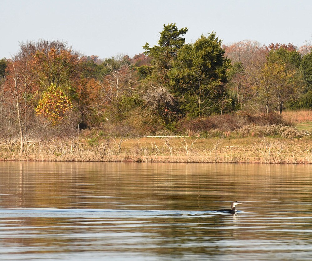 A common loon glides Nov. 6 2020 across the smooth water. (NWA Democrat-Gazette/Flip Putthoff)