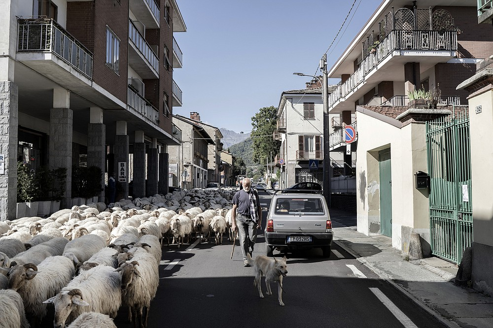 """A shepherd guides his flock through Torre Pellice, which includes a neighborhood known as the """"Waldensian Quarter,"""" in Italy. Waldensian church members were shunted from country to country for centuries before settling in Piedmont in the 12th century to escape religious persecution. (The New York Times/Alessandro Grassani)"""