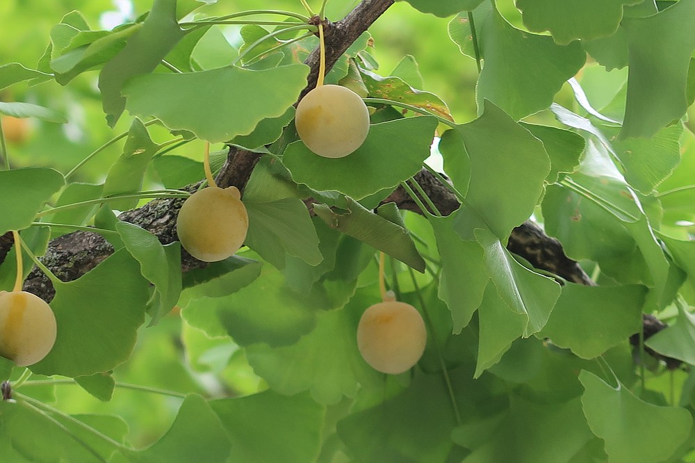 Female gingko trees produce malodorous fruits that make a mess. (Special to the Democrat-Gazette/Janet B. Carson)