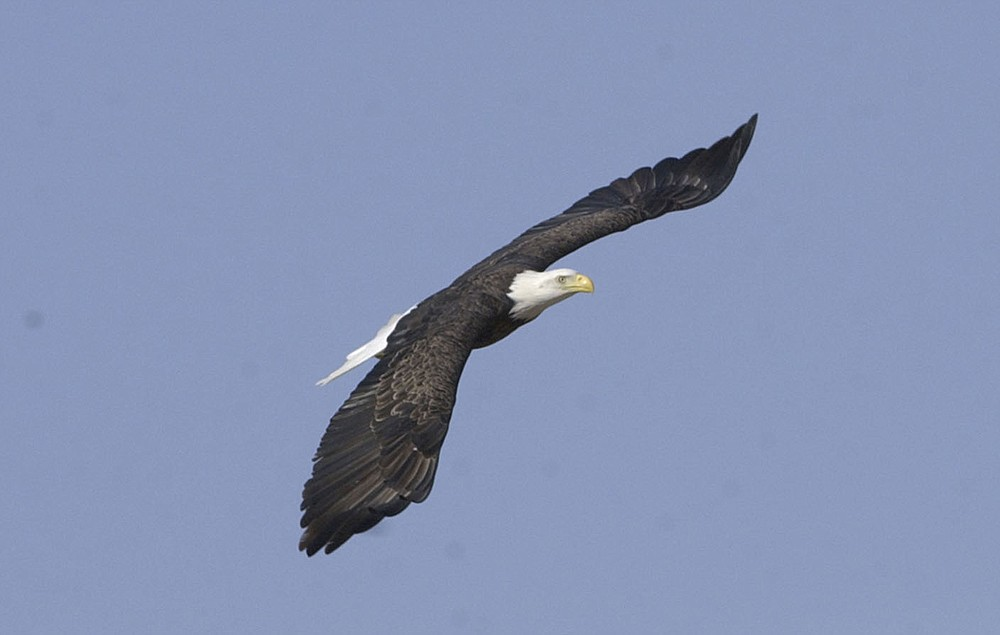A bald eagle soars in January 2006 over the Indian Creek arm of Beaver Lake. The arm of the lake, west of Beaver Dam, usually holds a large population of wintering bald eagles. January is the best month to see eagles at the lake. (NWA Democrat-Gazette/Flip Putthoff)