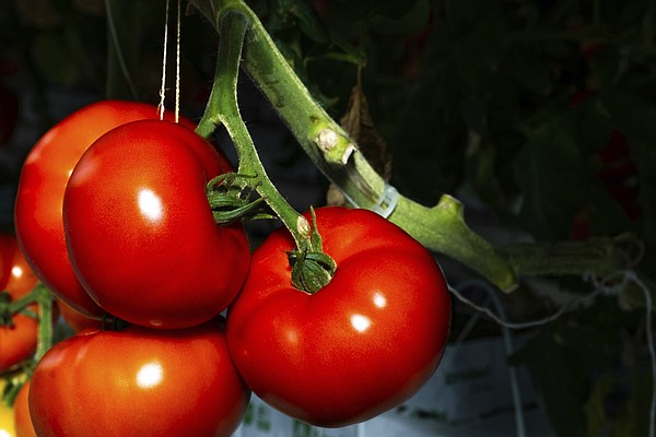 Tomatoes grown in Appalachia herald shift in U.S. agriculture