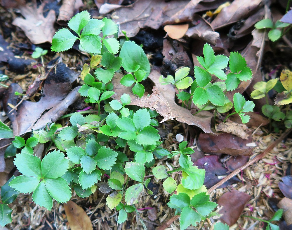 Hellebore sprouts need a year or more of growth before they're mature enough to flower. (Special to the Democrat-Gazette/Janet B. Carson)