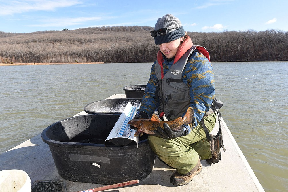 Kody Rudolph looks at a flathead catfish caught in a net during the walleye study. Rudolph is with the Fort Smith Utilities water department. He and co-worker Aaron Freeman helped with the Game and Fish study at Lake Fort Smith. (NWA Democrat-Gazette/Flip Putthoff)
