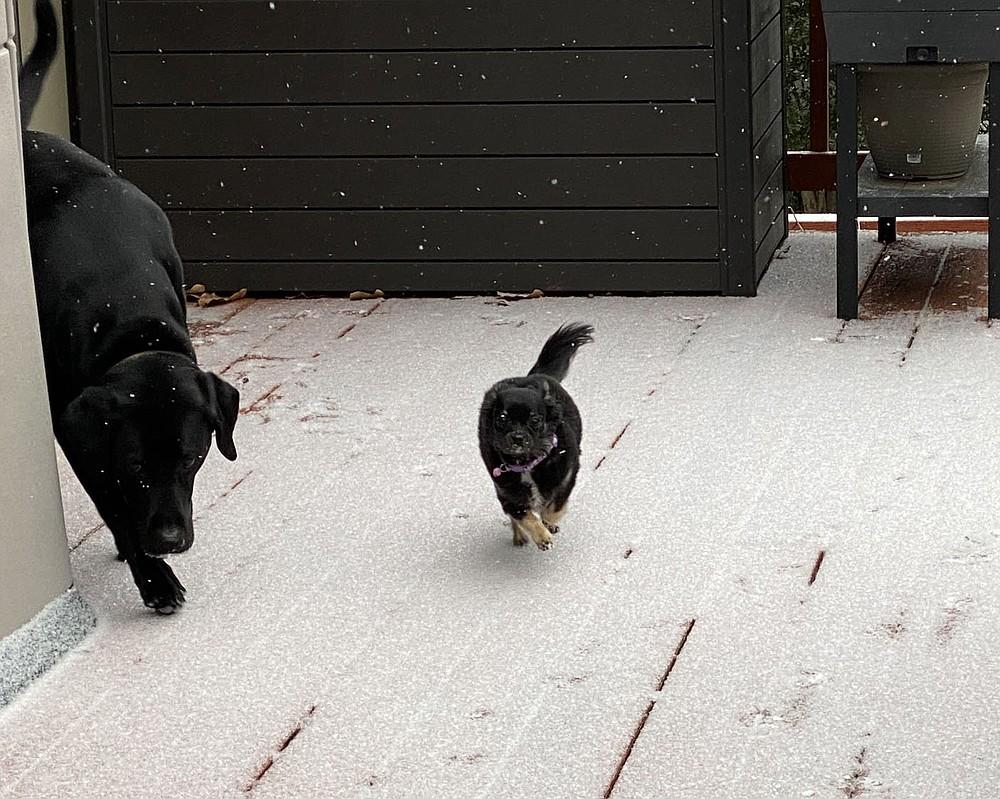 Terri O'Byrne/Weekly Vista It's a snow day! Jax and Bella enjoy Friday, Feb. 12.