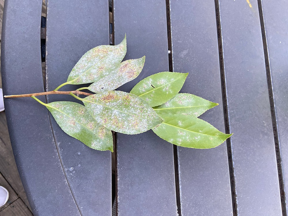 This camellia stem shows its parent plant is infested with tea scale insects.  (Special to the Democrat-Gazette)