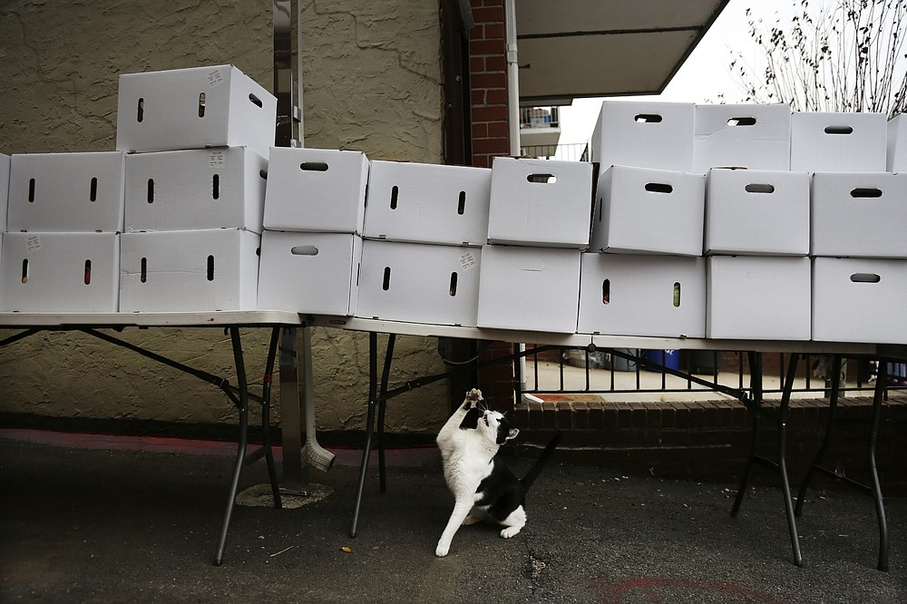A cat reaches for a piece of string hanging from a table stacked with boxes of food at the United Sherpa Association's weekly food pantry on Friday, Jan. 15, 2021, in the Queens borough of New York. (AP Photo/Jessie Wardarski)