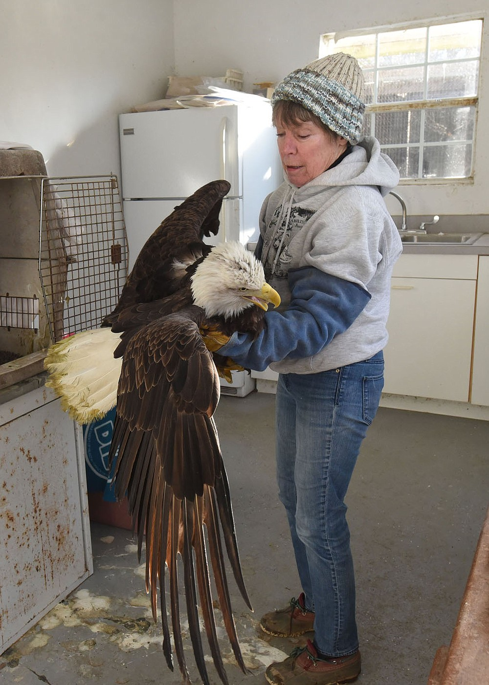 WILDLIFE ON THE MEND Lynn Sciumbato, federally licensed wildlife rehabilitator, carefully cradles an injured bald eagle Tuesday Jan. 12 2021 to move the raptor from a crate to a more spacious outdoor coop. As the eagle heals, it will be moved to a flight cage where it can fly short distances to prepare it for release back into the wild.  Arkansas Game and Fish Commission personnel found the injured eagle two weeks ago near Ozark and brought it to Morning Star Wildlife Rehabilitation Center near Gravette, operated by Sciumbato. The eagle has injuries to its back area. Her diagnosis is the eagle got into a fight with another eagle. Sciumbato hopes the eagle can be released  in one month. She has been a wildlife rehabilitator for 33 years. Go to nwaonline.com/210113Daily/ to see more photos. (NWA Democrat-Gazette/Flip Putthoff