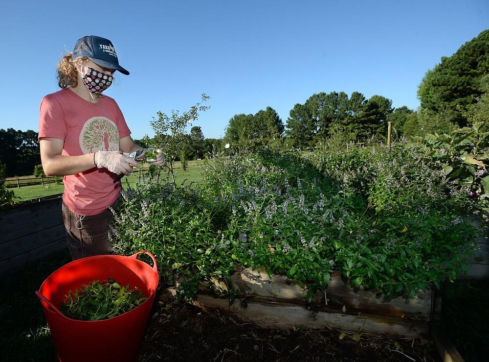 Apple Seeds program coordinator Bailey Stewart harvests mint in summer 2020 at the Apple Seeds Teaching Farm in Fayetteville. (NWA Democrat-Gazette file photo)