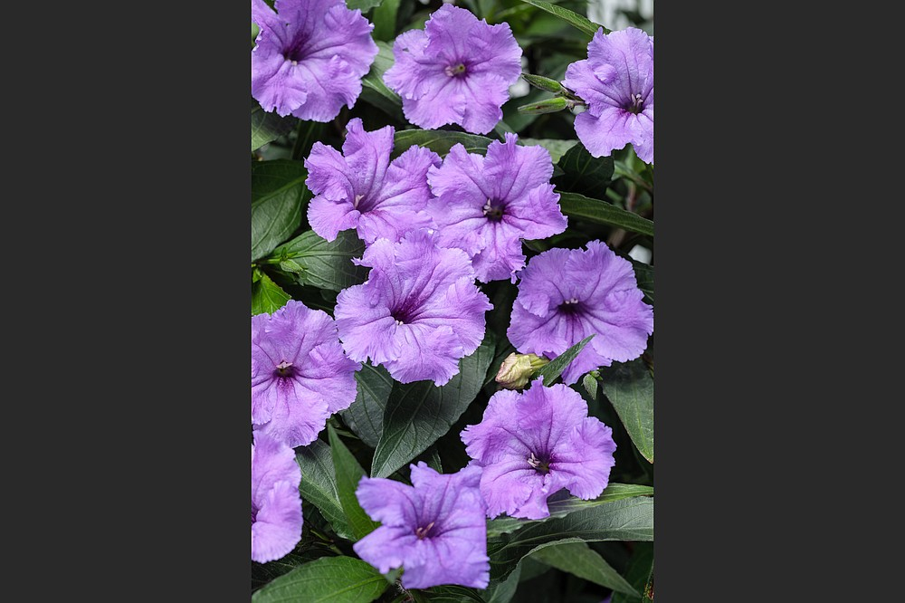 Machu Morado is a new award-winning introduction of Mexican petunia or ruellia with luscious purple blooms and no threat of unwanted spread in the garden. (Proven Winners)