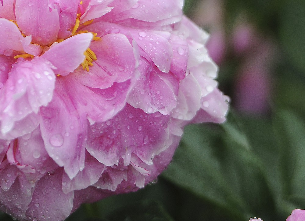 A peony bloom collects raindrops after a storm. (NWA Democrat-Gazette file photo)