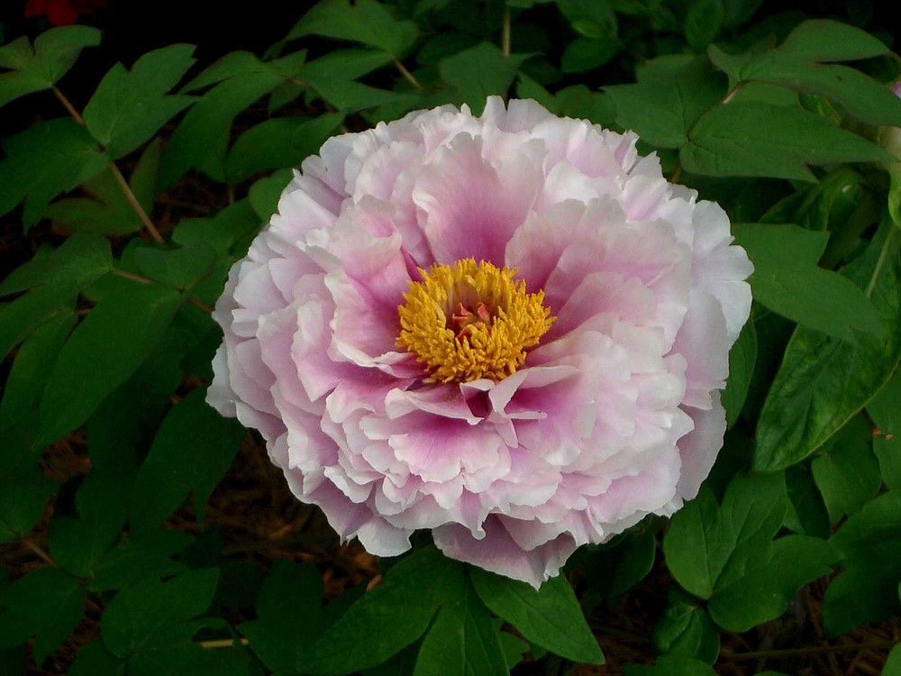 A close up of this peony reveals multiple shades of pink in one bloom. (Special to the Democrat-Gazette/Janet B. Carson)