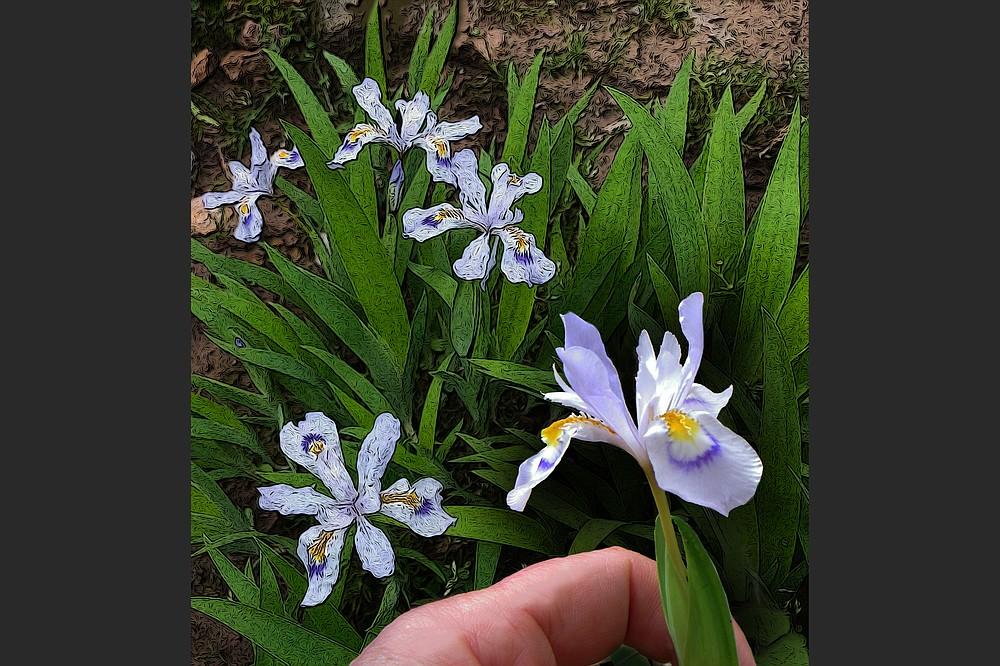 Iris cristata is a small, woodland iris that's native to Arkansas. (Democrat-Gazette illustration/Celia Storey)