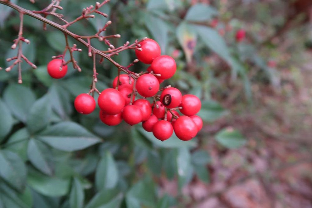 Nandina berries are not extraordinarily toxic to birds, but they do cause unwanted proliferation of nandinas. for In the Garden March 27, 2021. (Special to the Democrat-Gazette/Janet B. Carson)