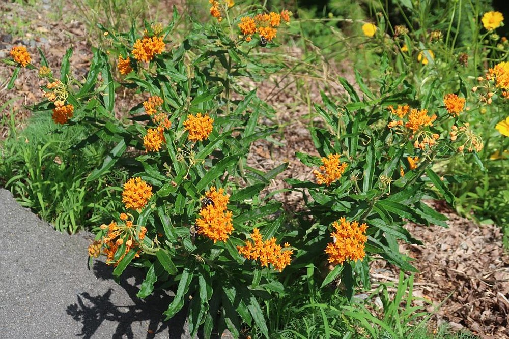 Planting milkweeds is a way to help monarch butterflies survive. for In the Garden March 27, 2021. (Special to the Democrat-Gazette/Janet B. Carson)