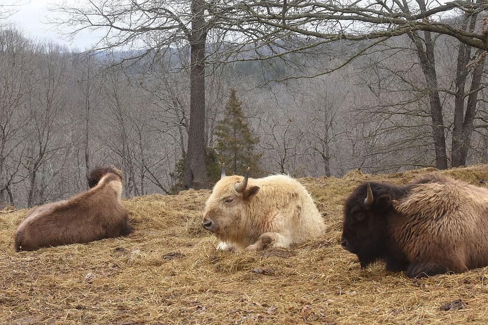 A rare white bison is a new addition to the park's herd.  (NWA Democrat-Gazette/Flip Putthoff)