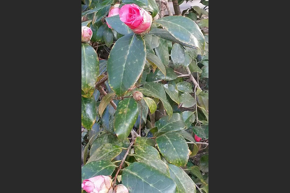 The damage on this camellia wasn't caused by cold weather. (Special to the Democrat-Gazette)