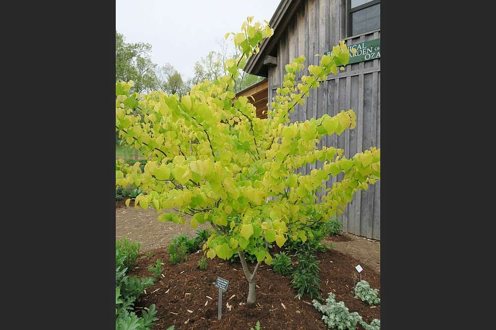 """""""Rising Sun"""" is a variety of redbud with bright spring foliage. (Special to the Democrat-Gazette/Janet B. Carson)"""