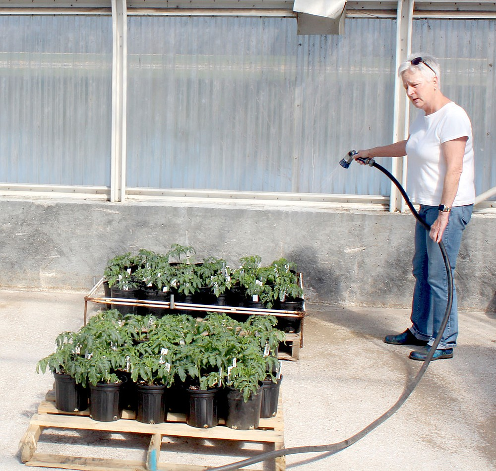 Keith Bryant/The Weekly Vista Plant sale chair Joal Miller waters a handful of tomato plants in a greenhouse at the Village Wastewater facility off U.S. Highway 71 in preparation for the April 16-17 plant sale. Miller said these plants need daily watering and one of a handful of club members makes the trip every day.