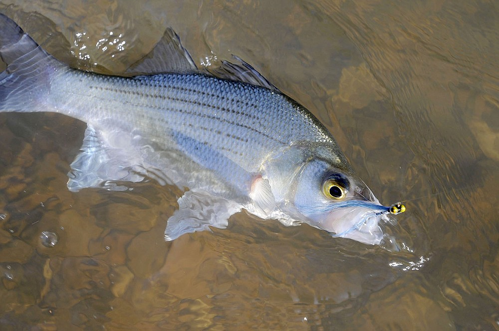 Fly fishing is an exciting way to catch hard-fighting white bass. This one bit a Clouser minnow during a fly-fishing trip on the War Eagle River. (NWA Democrat-Gazette/Flip Putthoff)