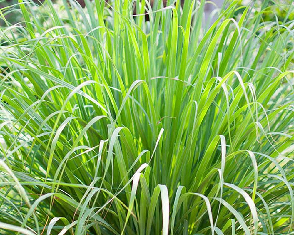 The ornamental annual lemongrass is edible and used in Thai recipes. (Courtesy of Arkansas Green Industry Association)