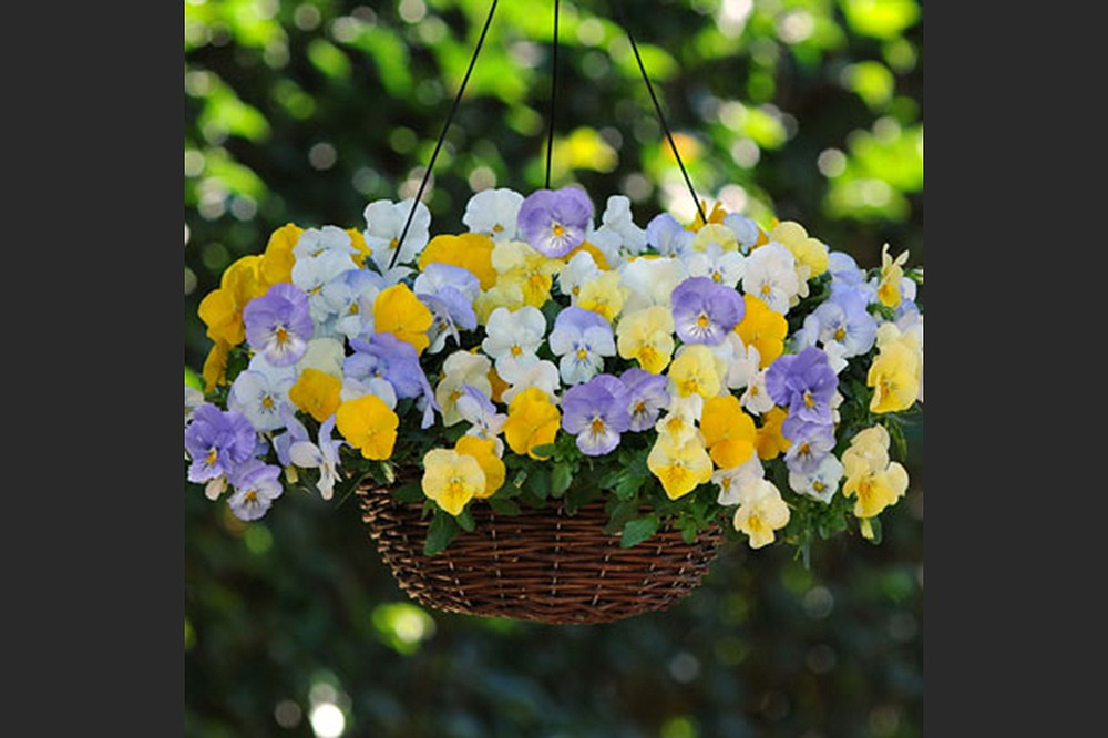 Among the plants that are new to the Arkansas Diamonds program for 2021 is the Cool Wave series of pansies, with 14 varieties and three mixes. (Courtesy of Arkansas Green Industry Association)