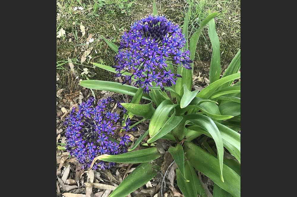Peruvian squill (Scilla peruviana), also called Portuguese squill, is a Mediterranean plant. (Special to the Democrat-Gazette)