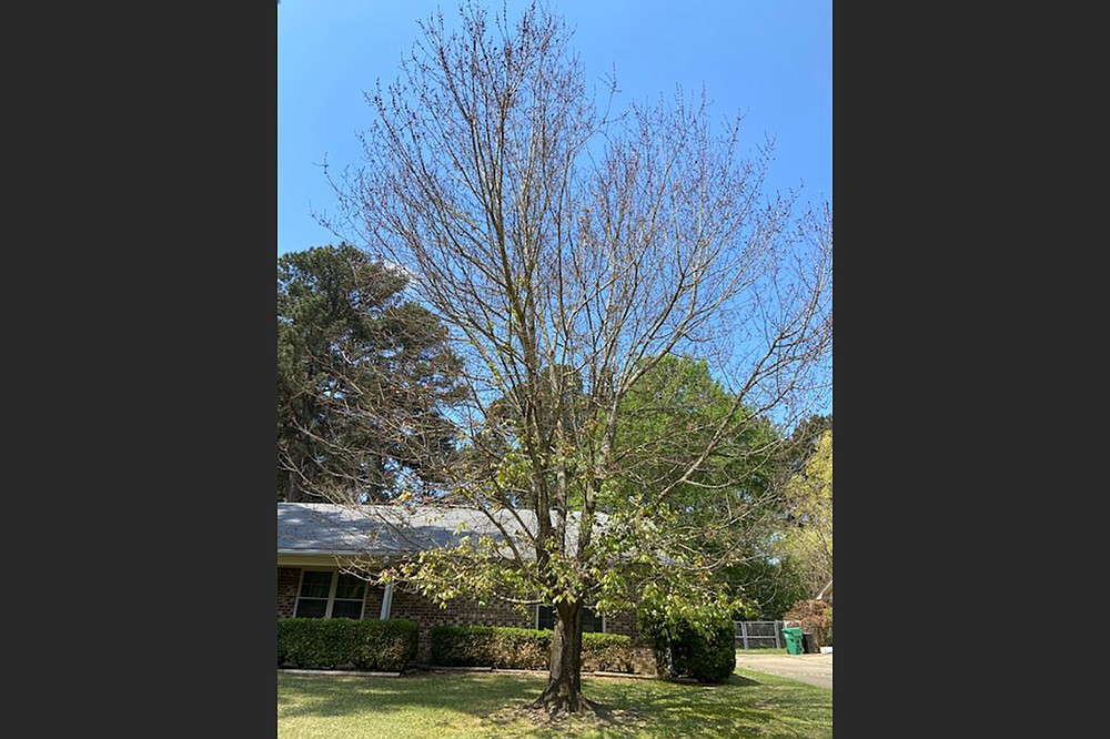 The upper branches of this cold-damaged red maple tree are taking their time leafing out. (Special to the Democrat-Gazette)