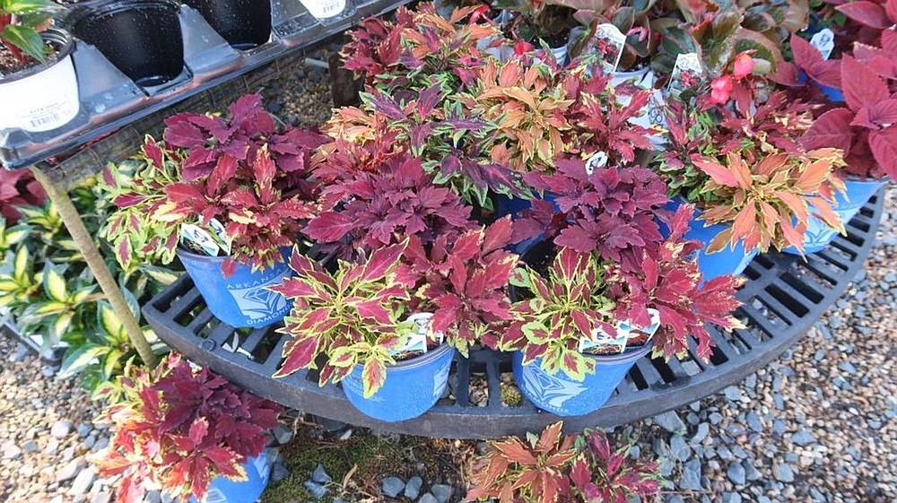 The FlameThrower series of coleus was selected for the 2021 Arkansas Diamonds program. (Special to the Democrat-Gazette/Janet B. Carson)