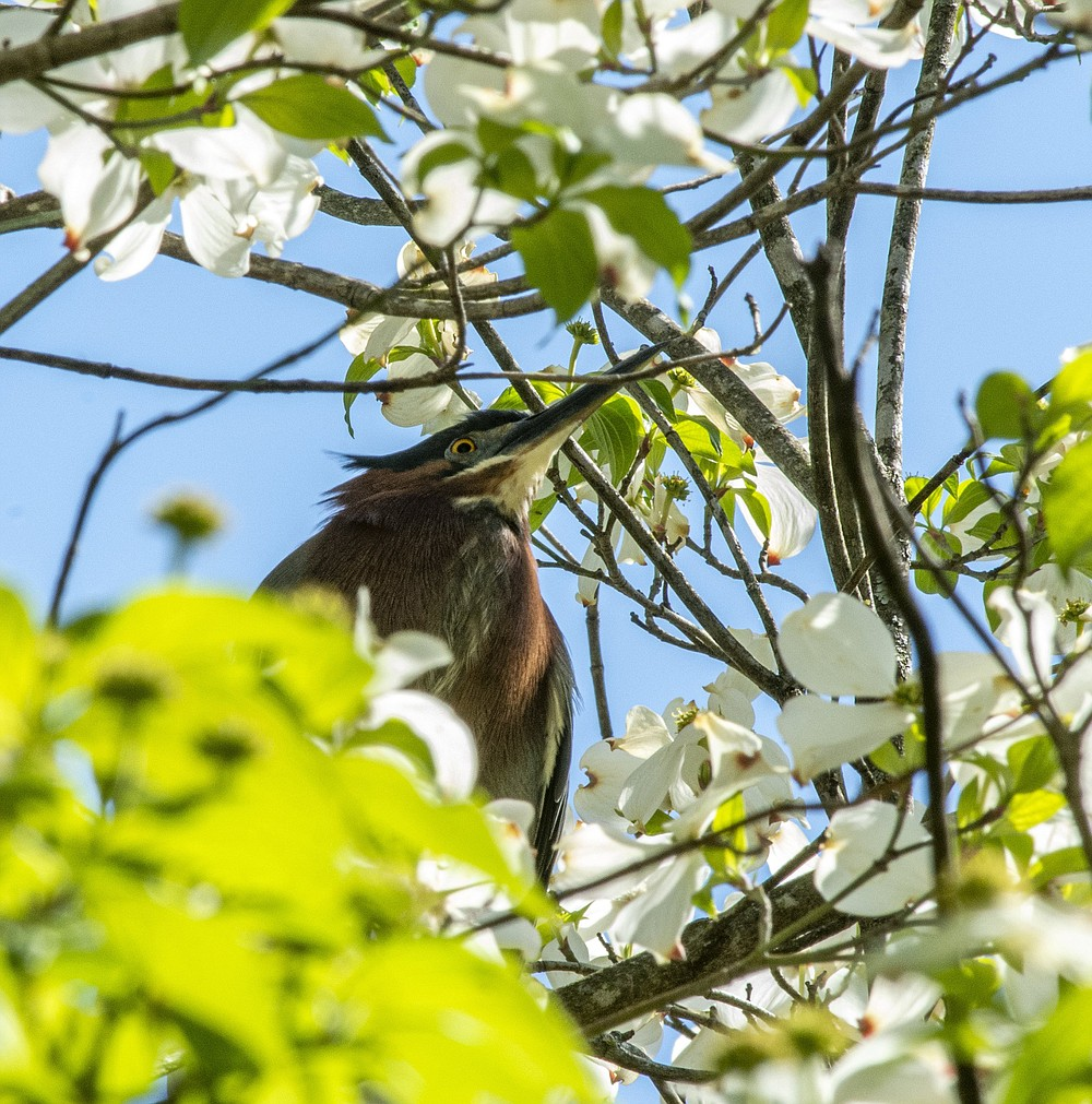 A green heron in its nest at Little Rock Central High School. Each spring since 2015, the heron has returned to this nest to lay its eggs. (Arkansas Democrat-Gazette/Cary Jenkins)