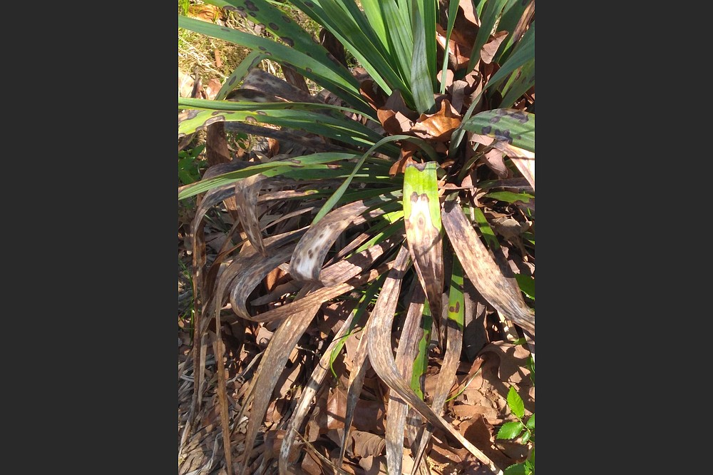 Lower foliage on a yucca dies back annually and should be removed. (Special to the Democrat-Gazette)