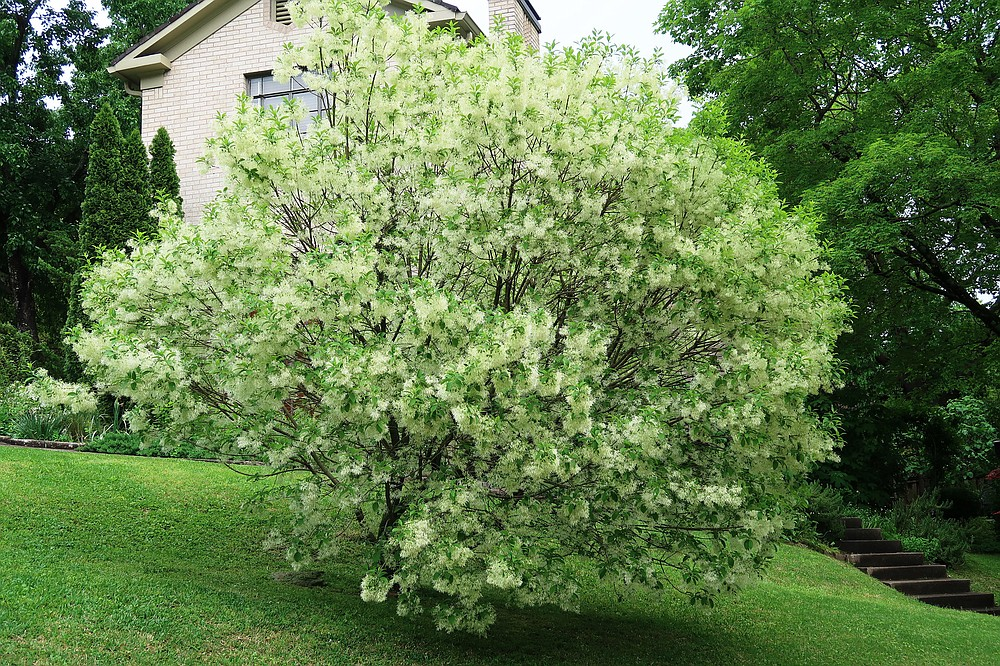 The native fringetree (Chionanthus virginicus) will grow in full sun to partial shade, but the more sun it gets, the better it flowers. (Special to the Democrat-Gazette/Janet B. Carson)