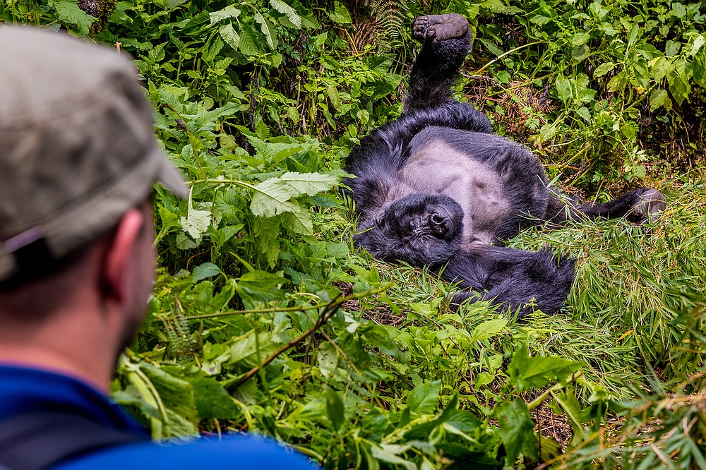 A tourist watches a relaxing silverback mountain gorilla in Uganda's Mgahinga National Park. (Courtesy of Marcus Westberg)