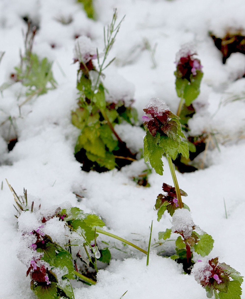 Keith Bryant/The Weekly Vista Purple dead nettles poke out from under the snow, each capped with a tiny bit of ice after last week's unusual snow.